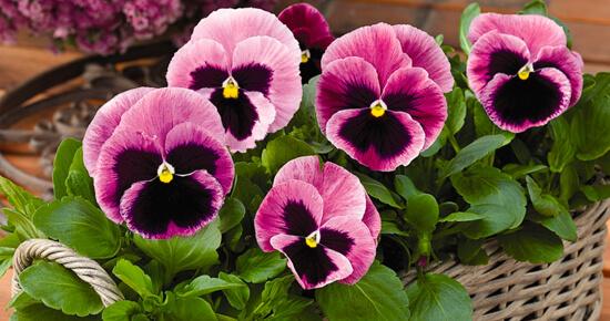 цветок анютины глазки уход