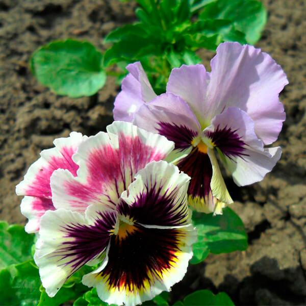 cvety-viola-rokoko