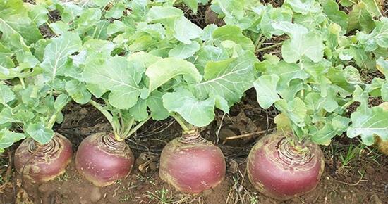 как посадить репу в открытый грунт