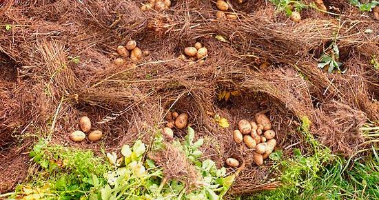 картофель методы посадки