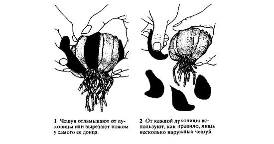 mozhno-vyrastit-lilii-iz-cheshuek