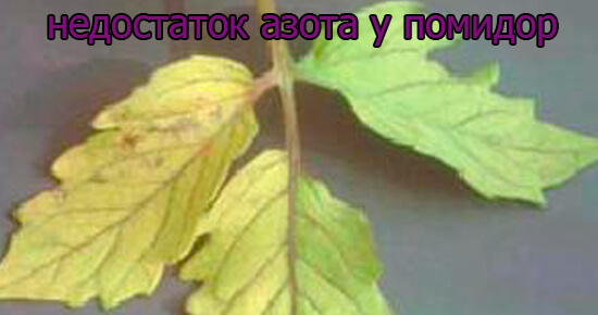 priznaki-nedostatok-azota-u-pomidor