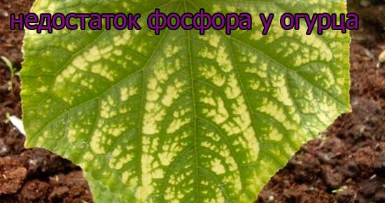 priznaki-nedostatok-fosfora-u-ogurca
