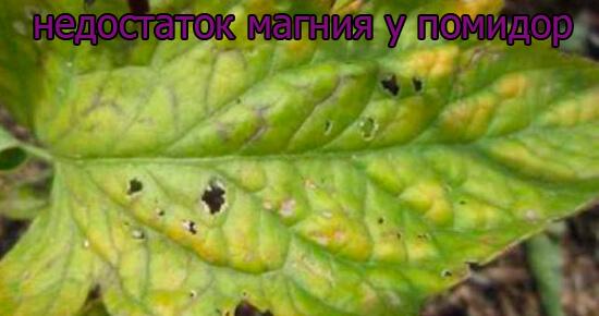 priznaki-nedostatok-magnija-u-pomidor