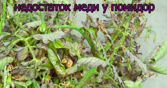 priznaki-nedostatok-medi-u-pomidor