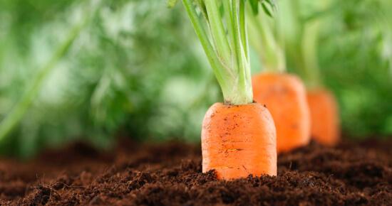 почему трескается морковь на грядке