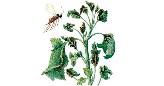 смородиновая листовая галица