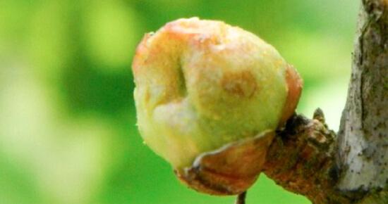 смородиновый почковый клещ