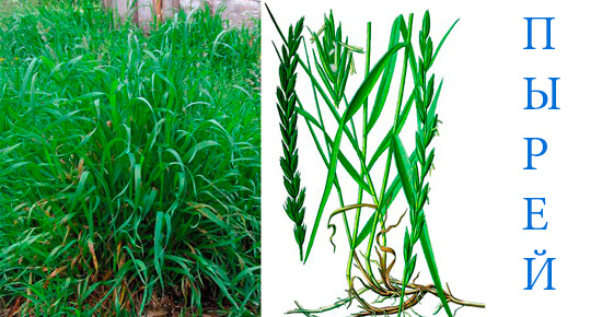 трава для удобрение огорода