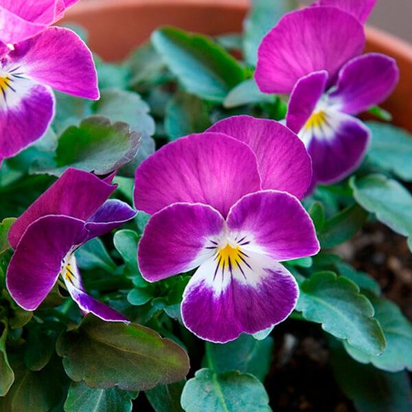 viola-fialka-vittroka