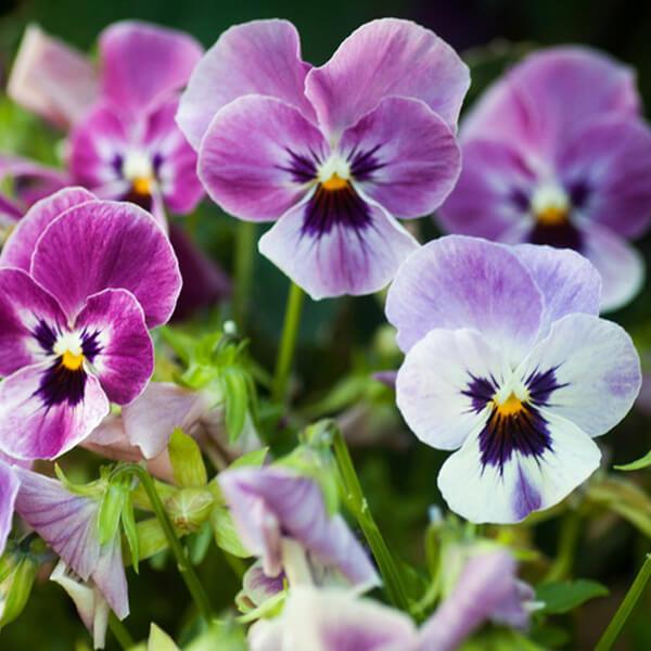viola-trehcvetnaja
