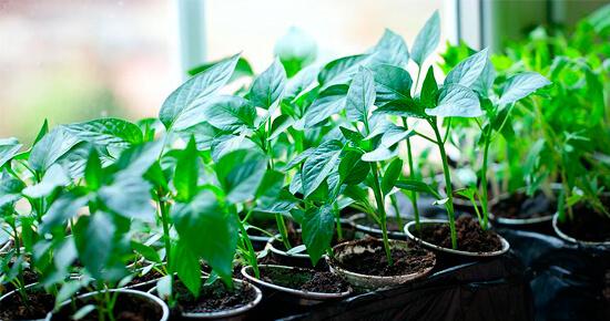 как посеять перец на рассаду дома
