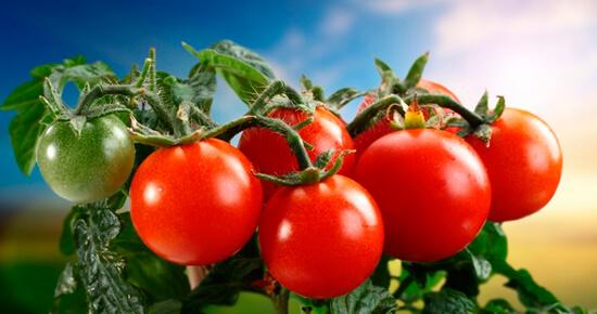 как посеять помидоры на рассаду