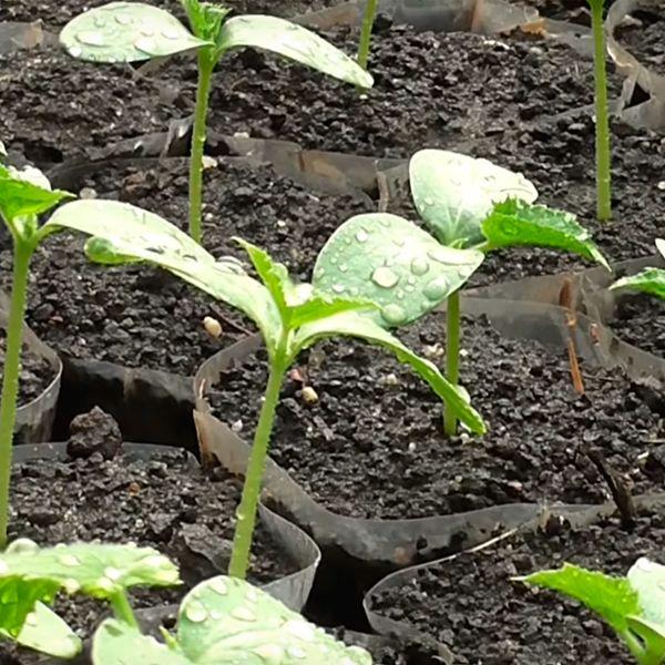 обработка рассады стимуляторами роста