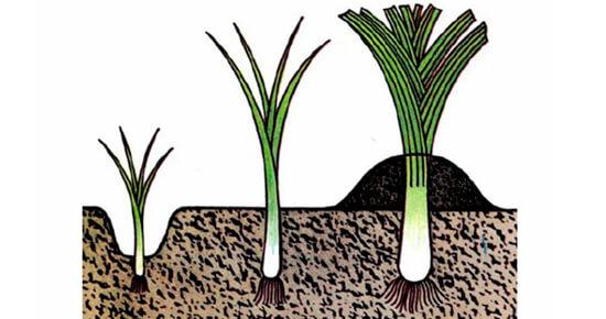 выращивание лука из семян за один сезон