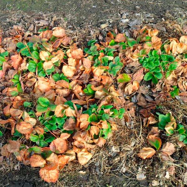 выращивание клубники весенние работы