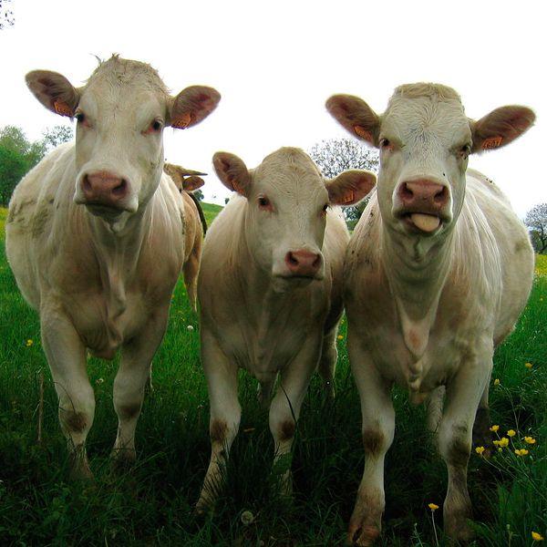 органическое удобрение из коровьего навоза