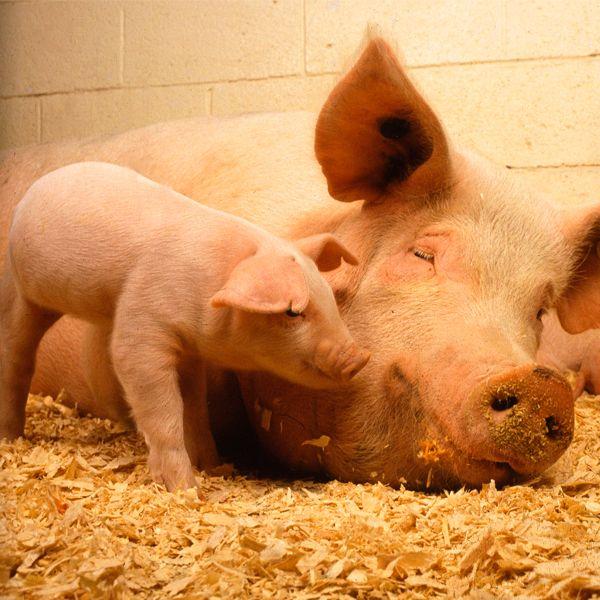 применение свиного навоза