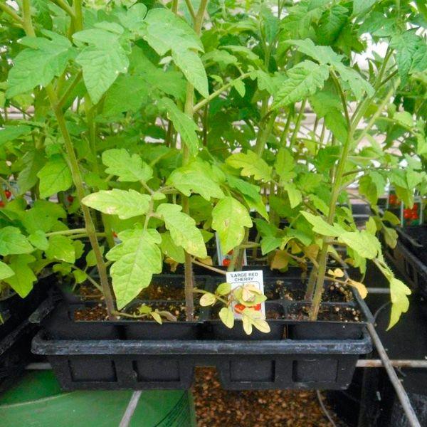 недостаток азота у томатов