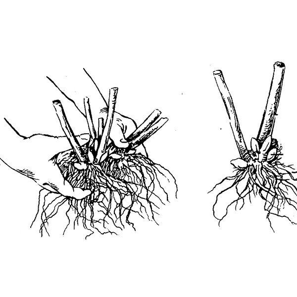 размножение растения делением корневищ