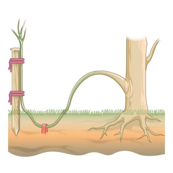 как размножить растения отводками