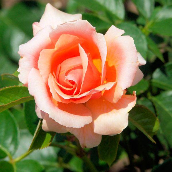 кофе как удобрение для роз