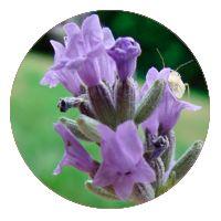 цветы против вредителей лаванда