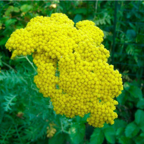 тысячелистник выращивание из семян