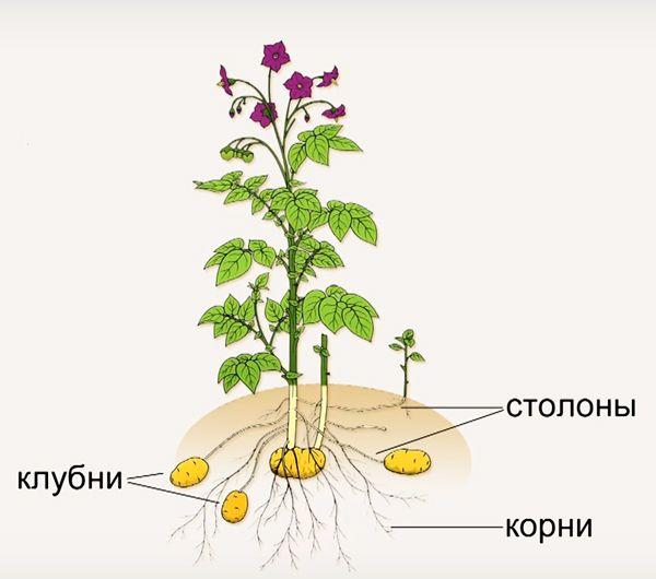 градация картофеля по репродукциям