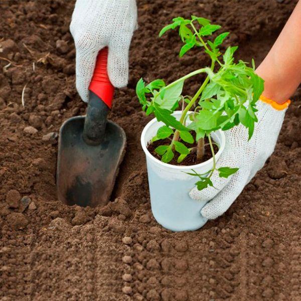 пересаживаем рассаду в открытый грунт