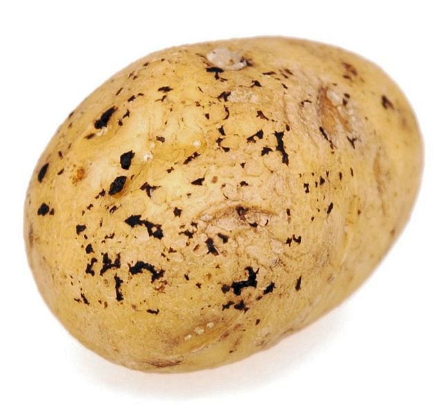 картофеля пораженный ризоктониозом