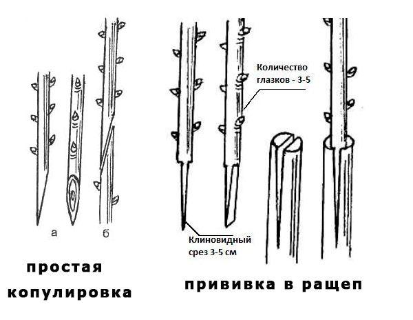 прививка розы копулеровка