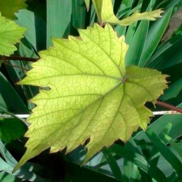 хлороз листьев растений