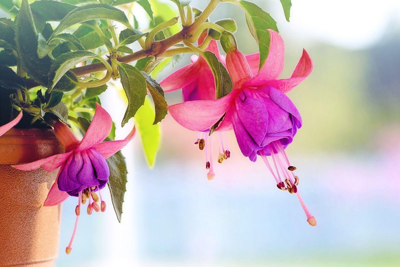 комнатный цветок фуксия уход и размножение