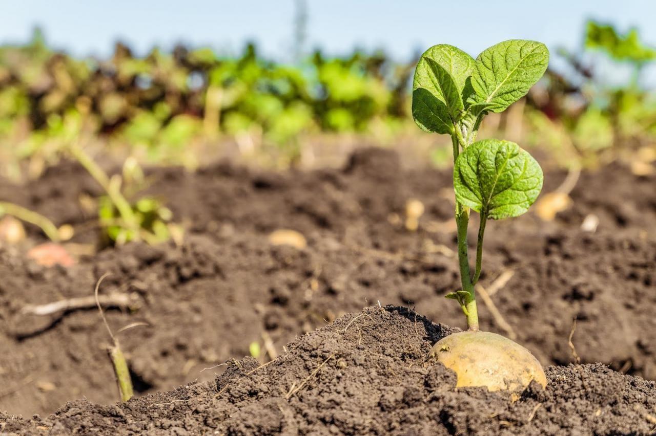 как омолодить семенной картофель